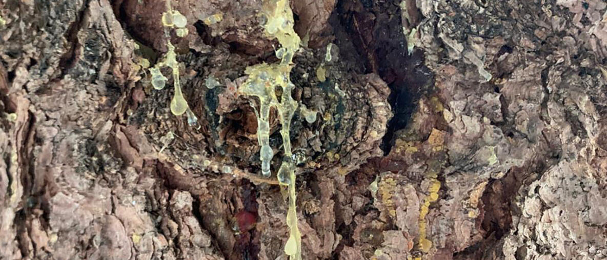 Puun pihkaa suomalaisessa metsässä. Kuva: Ghada Hassan